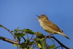 Reed warblers, such as this Blyth's reed warbler (Acrocephalus dumetorum), are now in the Acrocephalidae