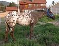 Чубарая лошадь породы аппалуза