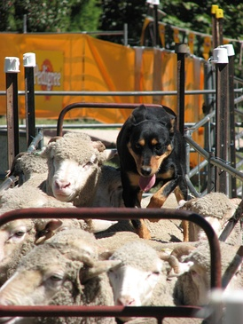 Dogs and sheep were among the first animals to be domesticated.