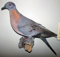 The passenger pigeon was a species of pigeon endemic to North America. It experienced a rapid decline in the late 1800s due to habitat destruction and intense hunting after the arrival of Europeans. The last wild bird is thought to have been shot in 1901.