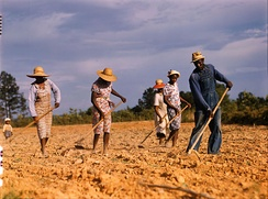 Hoeing a cotton field to remove weeds, Greene County, Georgia, US, 1941