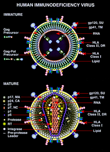 Незрелая и зрелая формы ВИЧ (стилизованное изображение)