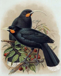 The beaks of the now-extinct Huia (female upper, male lower) show marked sexual dimorphism
