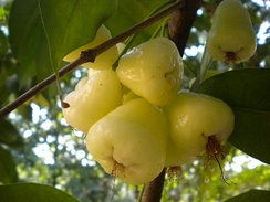 A cultivated white Syzygium