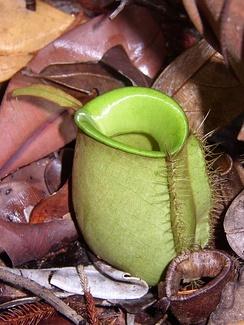 Непентес кувшинчиковый хорошо приспособлен для захвата палой листвы