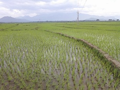 Rice fields with seedlings planted in the village of Karthalipalem, Andhra Pradesh, India