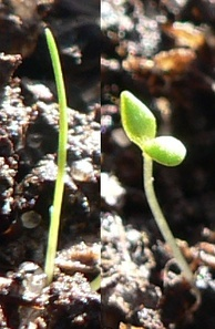 Monocot (left) and dicot seedlings