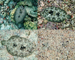 Four frames of the same peacock flounder taken a few minutes apart, showing its ability to match its coloration to the environment