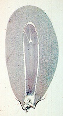 Pine gametophyte (outside) surrounding the embryo (inside)