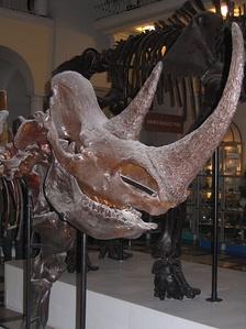 Череп шерстистого носорога с рогом. Хорошо заметна уплощённая, когтевидная форма рога
