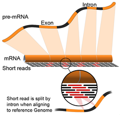 RNA-seq mapping of short reads in exon-exon junctions. The final mRNA is sequenced, which is missing the intronic sections of the pre-mRNA.