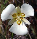 Calochortus nuttallii: Tepals in two clearly distinguished whorls of three sepals and three petals