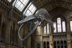 "A blue whale skeleton—nicknamed ""Hope""—installed in Hintze Hall, 2017"
