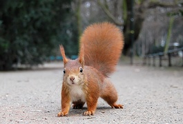Red squirrels live even in urban places