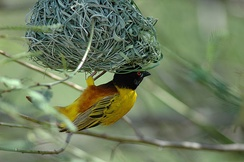Yellow weaver (bird) with black head hangs an upside-down nest woven out of grass fronds.