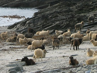 North Ronaldsay sheep on the beach in North Ronaldsay. In the winter, these sheep eat seaweed, which has a higher δ13C content than grass; samples from these sheep have a δ13C value of about −13‰, which is much higher than for sheep that feed on grasses.[44]