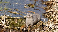 Introduced predators, such as the American mink, have caused marked declines in populations of rails and other ground-nesting birds.