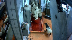 Sheep in a slaughterhouse.