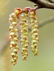 Carpinus betulus flower-002.jpg