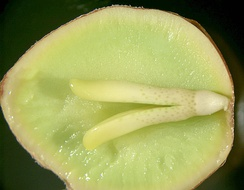 The inside of a Ginkgo seed, showing the embryo