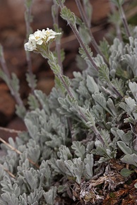 Smelowskia americana is endemic to the midlatitude mountains of western North America.