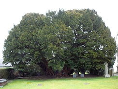 The Llangernyw Yew may be the oldest tree in Europe