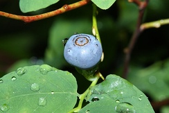 Oval-leaf blueberry on Mount Pilchuck