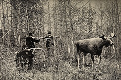Staged picture of a moose hunt in Norway, date unknown