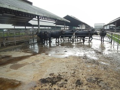 The super carabaos at the milking and breeding station