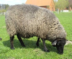 Pomeranian Coarsewool Sheep. Pomerania was the leading Prussian province in sheep breeding.[35]