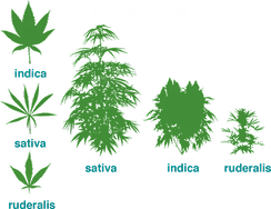 Evolution of cultivated cannabis strains. The cultivar, Cannabis ruderalis, still grows wild today.
