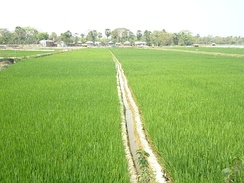 Two paddy fields in Khulna, Bangladesh