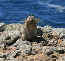 California ground squirrel at Point Lobos