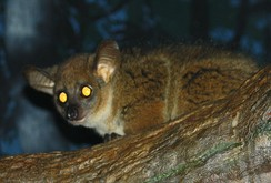 The tapetum lucidum of a northern greater galago, typical of prosimians, reflects the light of the photographers flash