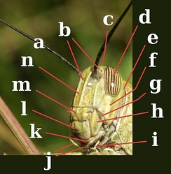 Head of Orthoptera, Acrididae. a:antenna; b:ocelli; c:vertex; d:compound eye; e:occiput; f:gena; g:pleurostoma; h:mandible; i:labial palp; j:maxillary palps; k:maxilla; l:labrum; m:clypeus; n:frons