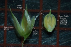 Glumes of a grass species with a fairly large inflorescence