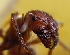 Голова муравья