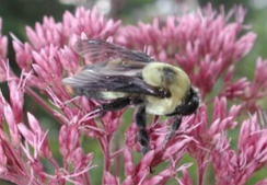 Bumblebees and the flowers they pollinate have coevolved so that both have become dependent on each other for survival.