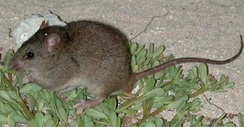 Bramble Cay melomys were declared extinct in June 2016. This is likely the first mammalian extinction due to anthropogenic climate change.[84]