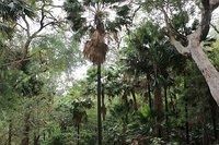 A warm-temperate rainforest in Ku-ring-gai, which harbours palm trees.