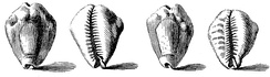 1742 drawing of shells of the money cowry, Cypraea moneta