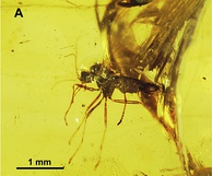Datzia bispina holotype in Burmese amber