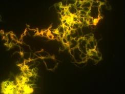 Kорд-фактор при люминесцентной микроскопии