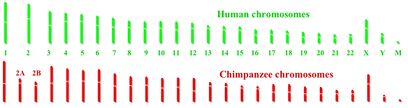 Human and Chimpanzee genomes. M stands for Mitochondrial DNA