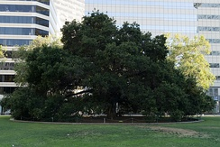 Oak Tree growing in Frank H. Ogawa Plaza