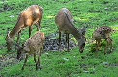 A group of hinds with calves