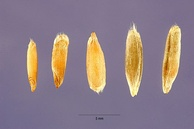 Some different types of rye grain
