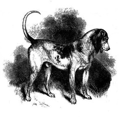 The Southern Hound is thought to be an ancestor of the beagle