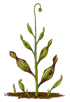 Artist's restoration of Archaeamphora longicervia, the earliest known carnivorous plant