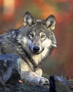 Gray wolves, hunters in the Lithuanian forests